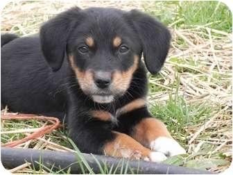 Collie/Labrador Retriever Mix Puppy for adoption in Salem, New Hampshire - Balthazar