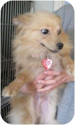 Pomeranian Puppy for adoption in Port Jefferson Station, New York - Monroe