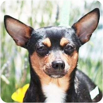 Miniature Pinscher/Chihuahua Mix Dog for adoption in Berkeley, California - Hobie