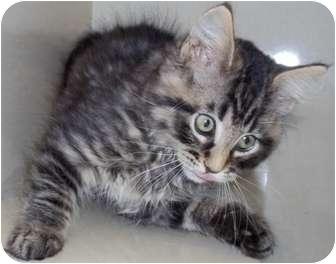 Domestic Mediumhair Kitten for adoption in Crookston, Minnesota - Angus