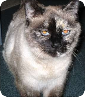 Siamese Cat for adoption in Warren, Ohio - Mollee