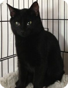 Domestic Shorthair Cat for adoption in Port Republic, Maryland - Pax