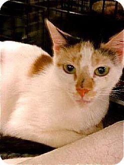 Oriental Kitten for adoption in Pittstown, New Jersey - Ariel