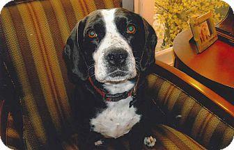 Beagle/Springer Spaniel Mix Dog for adoption in Valley Village, California - Rosie