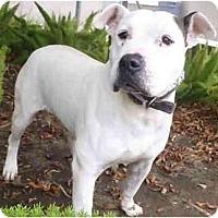 Adopt A Pet :: Ozzy Osbourne - Seattle, WA