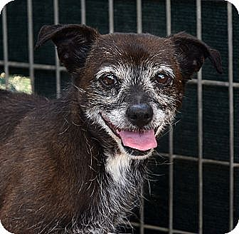 Chihuahua/Terrier (Unknown Type, Small) Mix Dog for adoption in Acton, California - Bella