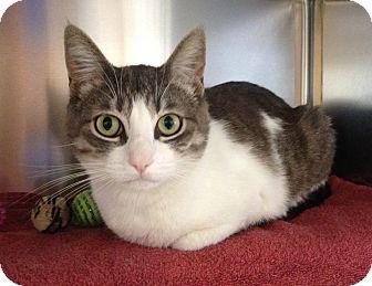 Domestic Shorthair Cat for adoption in Mission Viejo, California - Bella
