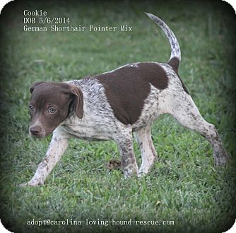 German Shorthaired Pointer Mix Puppy for adoption in Greenville, South Carolina - Cookie