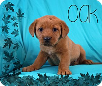 Golden Retriever/Labrador Retriever Mix Puppy for adoption in Ogden, Utah - Oak