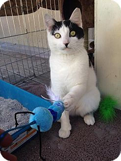 Domestic Shorthair Cat for adoption in Lafayette, California - Toby *NO ADOPTION FEE*