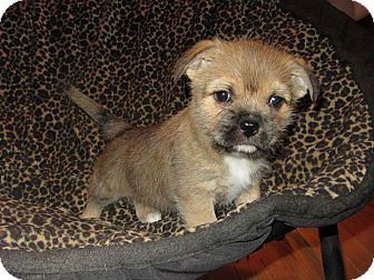 Shih Tzu/Cairn Terrier Mix Puppy for adoption in Hermitage, Tennessee - Penelope