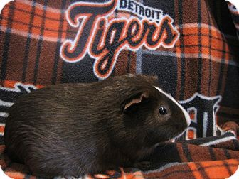 Guinea Pig for adoption in Warren, Michigan - Cabrera