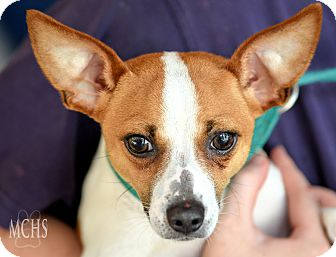 Chihuahua/Jack Russell Terrier Mix Dog for adoption in Martinsville, Indiana - Eddie