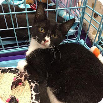 Domestic Mediumhair Kitten for adoption in Mansfield, Texas - Babie Josie