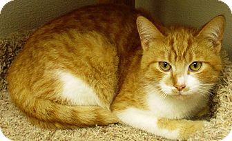 Domestic Shorthair Cat for adoption in Kalamazoo, Michigan - Lionel (2)