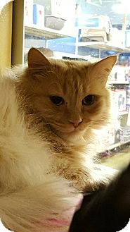 Ragdoll Cat for adoption in Arcadia, California - Gidget