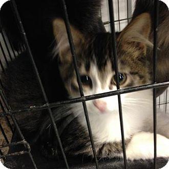 Domestic Shorthair Cat for adoption in Detroit Lakes, Minnesota - Graff