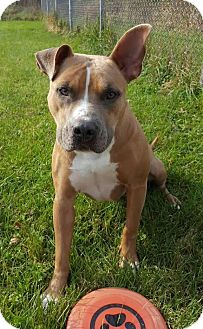 American Pit Bull Terrier Mix Dog for adoption in Lafayette, New Jersey - Joon