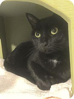 Domestic Shorthair Cat for adoption in Holland, Michigan - Startlite