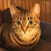 Domestic Shorthair Cat for adoption in Carlisle, Pennsylvania - Cammy