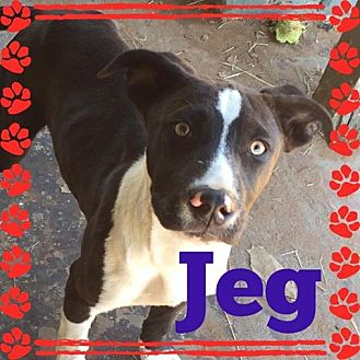 Pointer Mix Puppy for adoption in Snyder, Texas - Jeg