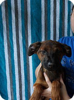 Australian Cattle Dog/Husky Mix Puppy for adoption in Oviedo, Florida - Carmel