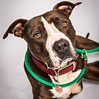 American Staffordshire Terrier Mix Dog for adoption in Santa Paula, California - Drake