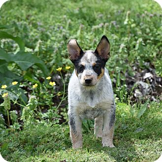 Australian Cattle Dog Mix Puppy for adoption in Groton, Massachusetts - Leta