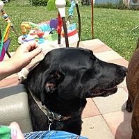 Labrador Retriever Mix Dog for adoption in Saint Robert, Missouri - Chloe