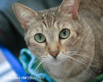 Domestic Shorthair/Domestic Shorthair Mix Cat for adoption in Miami, Florida - Misty