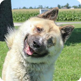 Akita Dog for adoption in Troy, Illinois - Fozzie
