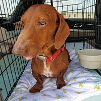 Adopt A Pet :: ROCKET - Lubbock, TX