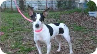 Rat Terrier Mix Dog for adoption in Sulphur Springs, Texas - Winnie