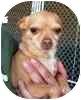 Chihuahua Mix Dog for adoption in Eagle, Colorado - Lia