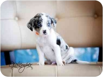 Australian Shepherd/Catahoula Leopard Dog Mix Puppy for adoption in Vandalia, Illinois - Mason