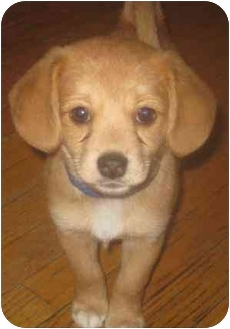 Beagle/Pomeranian Mix Puppy for adoption in Chicago, Illinois - Emmie(ADOPTED!)