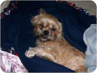 Shih Tzu Mix Dog for adoption in Worcester, Massachusetts - Buffy