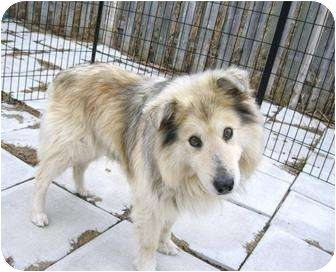 Collie Mix Dog for adoption in Ile-Perrot, Quebec - SHEP