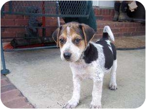 Beagle/Pointer Mix Puppy for adoption in Adamsville, Tennessee - Buck (adoption pendind)