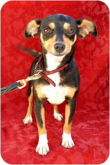 Miniature Pinscher Mix Dog for adoption in Irvine, California - DOMI