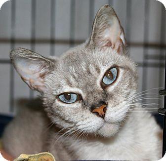 Siamese Cat for adoption in Spring Valley, New York - Sasha