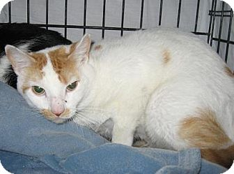 Domestic Shorthair Cat for adoption in North Haven, Connecticut - Patton