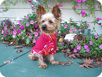 Yorkie, Yorkshire Terrier Mix Dog for adoption in Fremont, California - Harrison
