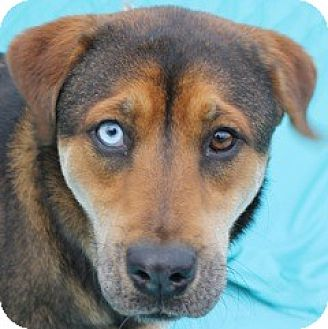 Mountain Cur/Catahoula Leopard Dog Mix Dog for adoption in New Roads, Louisiana - Blue Eyed Bree