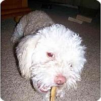 Adopt A Pet :: Petie - Albuquerque, NM
