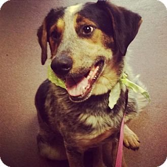 Australian Cattle Dog/Border Collie Mix Dog for adoption in Sweetwater, Tennessee - Sebastian