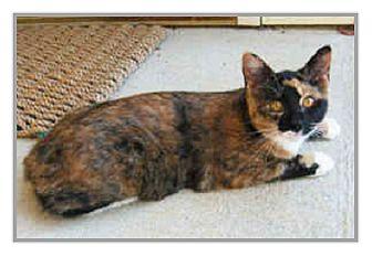 Domestic Mediumhair Cat for adoption in Oakland, California - Gigi