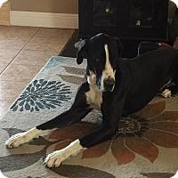 Adopt A Pet :: Tebow - Albuquerque, NM