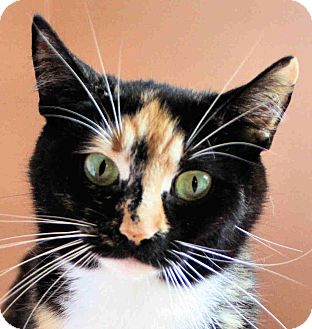Domestic Shorthair Cat for adoption in Morganton, North Carolina - Callie