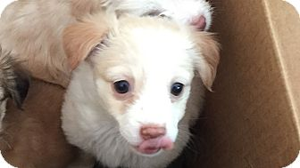 Border Collie Mix Puppy for adoption in Las Vegas, Nevada - Pandora